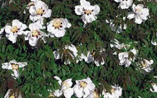 Пион древовидный: посадка, уход и выращивание в открытом грунте