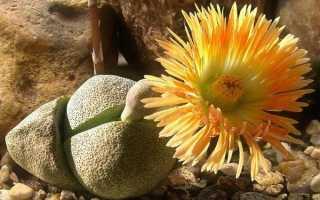 Литопс: описание, выращивание и уход, размножение + фото