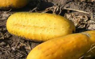 Как семена огурца собрать самостоятельно: все тонкости