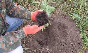 Посадка ежевики в открытый грунт осенью и весной – правила