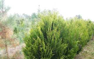 Туя Корник: описание, посадка, выращивание, уход