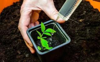 Правильная подкормка рассады помидоров в домашних условиях
