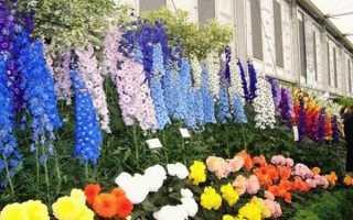 Шпорник – очень яркое, пышно цветущее растение