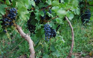 Виноград Фурор: как вырастить сорт на даче + описание, фото, отзывы