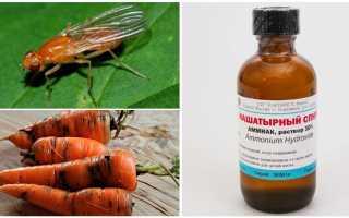 Полив моркови нашатырным спиртом – обработка, можно ли