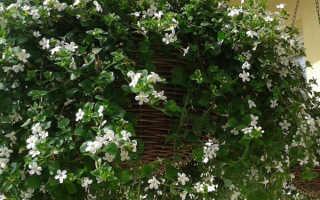 Растение бакопа (сутера): описание, условия выращивания, уход