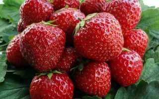 Клубника Корона: описание уход посадка цасркой ягоды