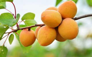 Абрикос: описание растения, плоды + 10 фото абрикосов