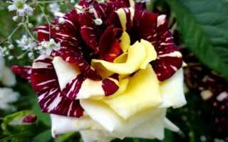 Роза Абракадабра: описание, правила высадки, ухода