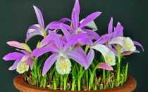 Плейоне: описание орхидеи, уход в домашних условиях + видео