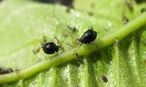 Вредители вишни и черешни, защита и профилактика + фото