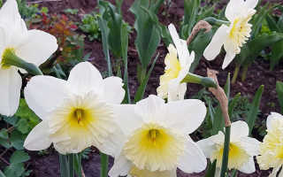 Пересадка нарциссов весной до цветения