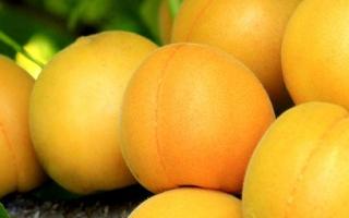 Абрикос лель описание сорта и плодов + 10 фото