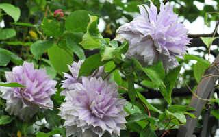 Бель оф Вокинг – роскошный цветущий сорт клематиса
