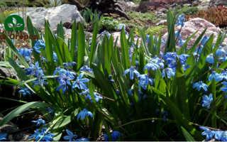 Подснежник на Вашем огороде: как вырастить?