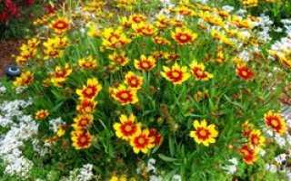 Кореопсис. Выращиваем экзотичный цветок на дачном участке