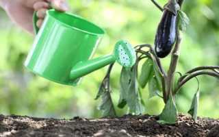 Уход за баклажанами: полное руководство по выращиванию