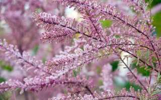 Тамарикс: описание растения и его виды + фото