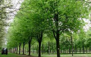 Клен серебристый: описание, выращивание из семян и уход