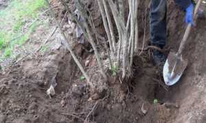 Когда и как правильно посадить рябину – инструкция