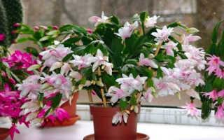 Декабрист цветок: особенности выращивания в домашних условиях