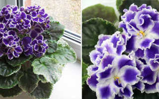 Фиалка Летние сумерки: особенности, выращивание и уход + фото
