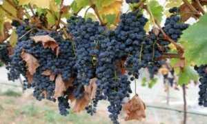 Виноград и его винные сорта с описание + фото