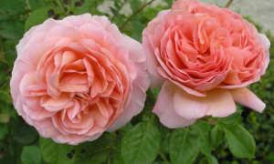 Английская роза парковый сорт Abraham Derby: выращивание стелющегося куста
