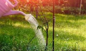 Полив яблони и его значение в выращивании плодовых деревьев