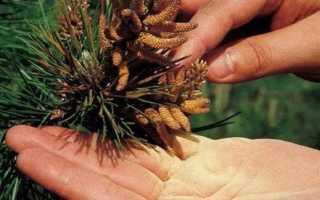 Лечебные свойства пыльцы сосны и противопоказания
