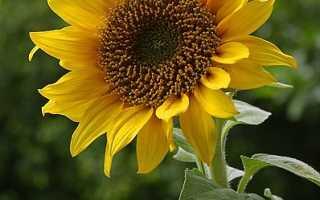 Подсолнух: удивительные факты о солнечном цветке