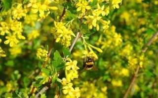 Смородина золотистая: агротехника выращивания от посадки до ухода