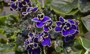 Фиалка Прекрасная креолка: описание, фото, выращивание