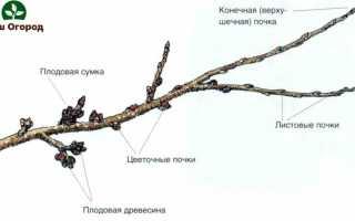 Описание плодовых деревьев: знакомимся с садовыми красавцами!