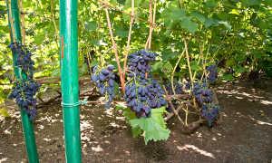Посадка винограда – все, что вам нужно знать об этом