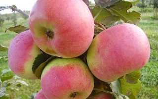 Яблоня Ауксис: описание сорта, выращивание и уход за яблоней,фото