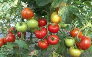 Томат Дачник – самый неприхотливый сорт помидор