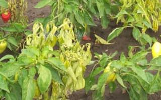 Болезни перца: подробная характеристика и виды