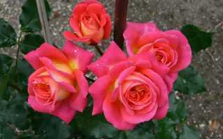 Посадка розы Флорибунда в летнее время: техника выращивания