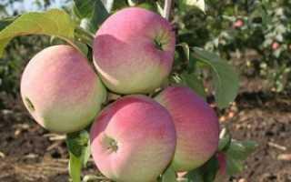 Яблоня Ветеран: описание, лучшие советы по выращиванию с фото