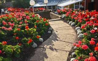 Герань садовая : выращиваем правильно