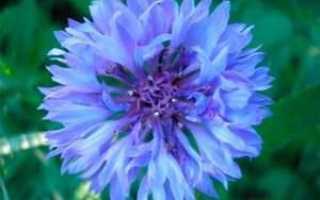 Василек-волошка: выращивание, цвет растения + фото
