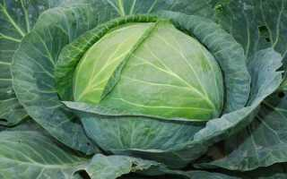 Сорта белокочанной капусты: описание 15 сортов и их лучших фото!