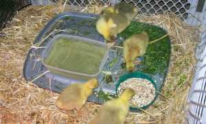 Чем кормить маленьких гусей в домашних условиях: однодневных, двухнедельных, 10-дневных и т. Д