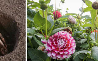 Когда сажать георгины клубнями: в открытый грунт, весной