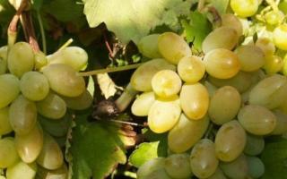 Виноград Тимур: описание сорта, характеристики + фото и видео