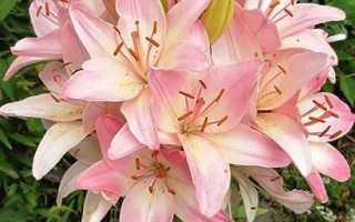 Лилия шаровидная: фото, описание, все о выращивании