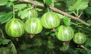 Крыжовник Малахит: фото, описание сорта, секреты выращивания