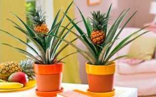 Комнатный ананас – уход и выращивание в домашних условиях