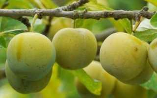 Слива Ренклод колхозный: описание сорта, фото, выращивание